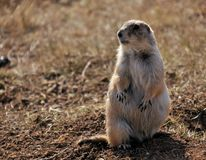 The Prairie Dog. In the Black Hills of South Dakota royalty free stock images