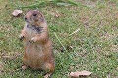 The prairie dog Stock Image