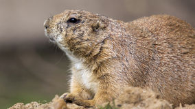 Prairie dog in profile Stock Image