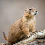 Prairie Dog. Profile Portrait of a Prairie Dog royalty free stock image