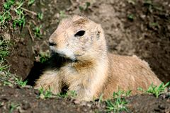 Prairie dog raising out of a hole Stock Photo