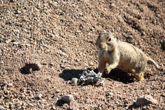 Prairie Dog Reaching for Food Stock Photo