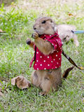 Prairie dog with red shirt and necklace standing upright Royalty Free Stock Photo
