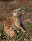 Prairie Dog Resting Stock Photography