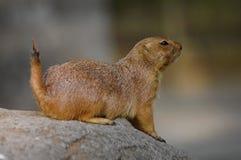 Prairie dog in a rock stock photo