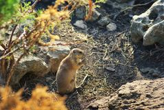 Prairie dog rodent. Animal wildlife nature Royalty Free Stock Photos