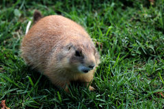 Prairie dog. Rodent called prairie dog in the zoo Royalty Free Stock Photos