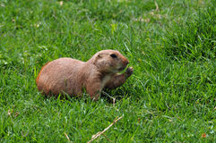 Prairie dog rodent eating grass Royalty Free Stock Images