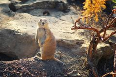 Prairie dog rodent. Royalty Free Stock Photography