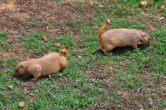 Prairie dog rodents feeding on grass Royalty Free Stock Photo
