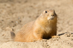 Prairie dog in the sand. Prairie dog in the beige sand Royalty Free Stock Photo