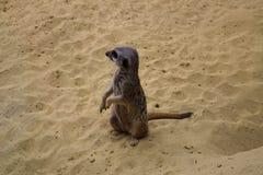 Prairie dog on sand royalty free stock photography