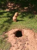 Prairie Dog sat near burrow Royalty Free Stock Images