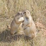 Prairie dog secrets. Prairie dog that looks like its whispering to another Stock Photo