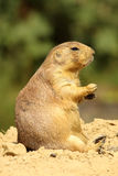 Prairie dog sitting Royalty Free Stock Images
