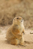 Prairie Dog Sitting on Burrow Royalty Free Stock Images