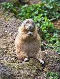 Prairie dog sitting and eating food Royalty Free Stock Photo