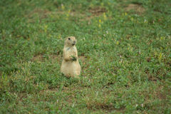 Prairie Dog. Sitting with grass in his hands Royalty Free Stock Photo