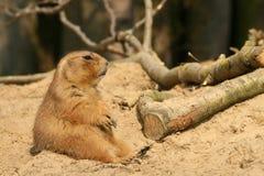 Prairie Dog Sitting In The Sand
