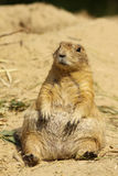 Prairie dog sitting in the sand Royalty Free Stock Photos
