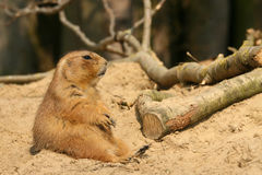 Prairie dog sitting in the sand Stock Images