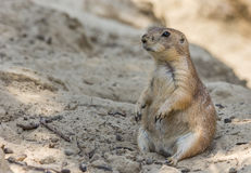 Prairie dog sitting in the sand Stock Image