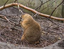 Prairie dog. Sitting in tree branches on the ground, chewing on a small branch in profile Stock Image