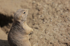 Prairie Dog sitting up, being alert Royalty Free Stock Photography