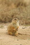 Prairie Dog Sitting up on Burrow Royalty Free Stock Images