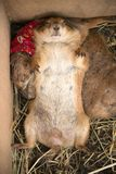Prairie Dog is sleep with turning face up. stock image