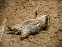 Prairie Dog sleeping on the ground in the outdoor nature.Animal life royalty free stock photography