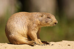 Prairie dog sleeping while sitting Royalty Free Stock Image