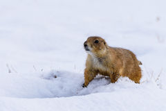 Prairie Dog in the Snow. Prairie Dog guarding his snow covered den stock photo