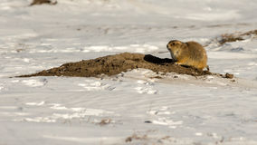 Prairie Dog in the Snow Stock Photography