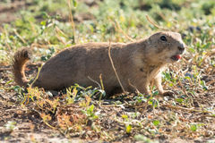 Prairie dog sounding alarm Royalty Free Stock Image