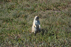 Prairie dog in South Dakota, USA Stock Photo