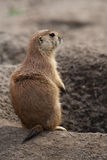 Prairie dog stading next to hole Stock Photos