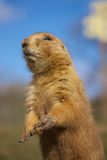Prairie Dog standing Stock Images