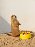 Prairie dog standing Stock Photography