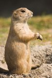 Prairie dog standing Royalty Free Stock Photo