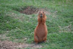 Prairie dog eating Stock Image