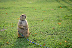 Prairie dog standing on grass Stock Photo