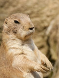 Prairie dog standing on hind legs Royalty Free Stock Photography