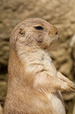 Prairie dog standing on hind legs Royalty Free Stock Image