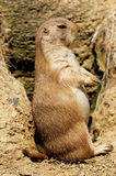 Prairie dog standing on hind legs Stock Image