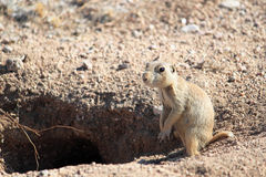 Prairie Dog Standing by it's Burrow Stock Photo
