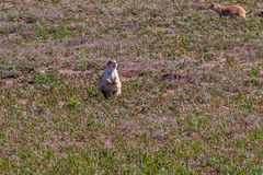 Prairie Dog Standing in short grass Stock Image