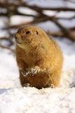 Prairie dog standing in the snow Stock Images