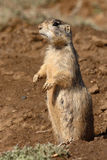 Prairie Dog Standing Tall. A White-tailed Prairie Dog standing up tall to look around outside of its burrow Stock Photography
