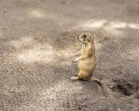 Prairie Dog. Standing tall and curiously looking into the distance stock images